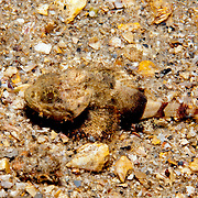 Coral Scorpionfish inhabit areas of sand and rubble around patch reefs in Tropical West Atlantic; picture taken  Blue Heron Bridge, Palm Beach, FL.