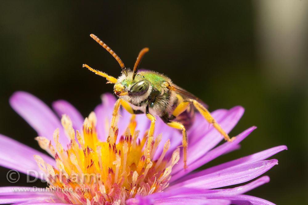 A small native bee (Agapostemon virescens) on flower stamens. Western Oregon.