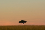 Lone tree on the savannah at sunset in Masai Mara, Kenya