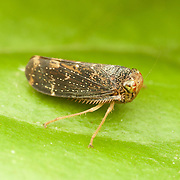 Cicadellidae (Leafhopper).