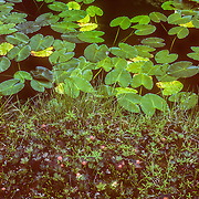 Walking around the muskeg is quite hazardous because there are deep black ponds scattered amongst the strange landscape of stunted trees and shrubs, and mounds of sphagnum moss.