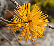 Tree needles turn yellow in Sawtooth Wilderness, near Stanley, Idaho, USA. Sawtooth Wilderness, managed by the US Forest Service within Sawtooth National Recreation Area, has some of the best air quality in the lower 48 states (says the US EPA).