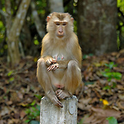 Pigtailed Macaque, Macaca nemestrina, shown sat on a roadside post in Khao Yai National Park, Thailand, in January 2006.