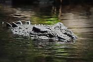 Estuarine Crocodile, Australia