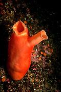 UNDERWATER MARINE LIFE EAST PACIFIC: Northeast SEA SQUIRTS: Sea squirt Tunicata