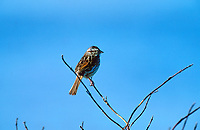 Song Sparrow (Melospiza melodia), Calgary, Alberta, Canada   Photo: Peter Llewellyn