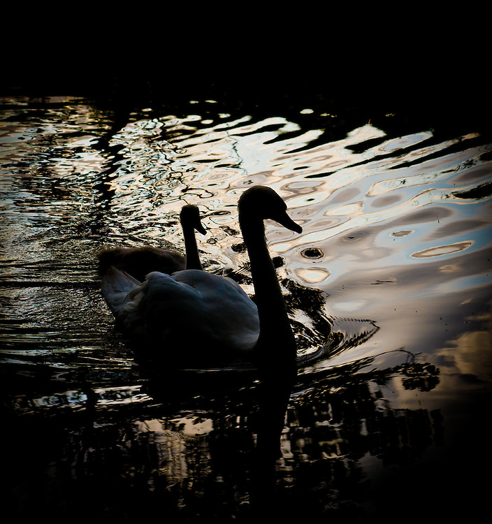 Swimming swan silhouettes