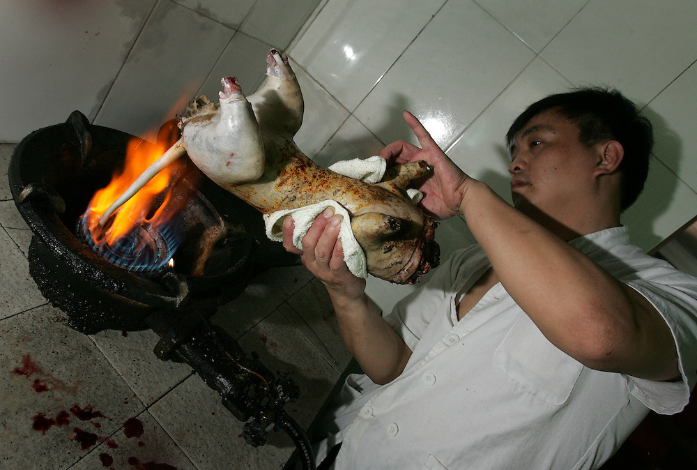 19th May 2006&amp;#xA;Shenzhen, China&amp;#xA;Extreme Cuisine/China&amp;#xA;Dragon, Tiger and Phoenix Soup.&amp;#xA;&amp;#xA;A tradititional recipe from the Guan Chou province of China made from snake, cat and chicken. In a country renowned for eating dishes containing unusual animals some of which are viewed as pets in other parts of the world the eating of cats has dropped sharply since the outbreak of SARS a few years back.  Now very few restaurants are prepared to risk ignoring the government ban on cat eating in order to prepare Dragon, Tiger and Phoenix Soup.  The Chinese rate freshness of produce highly and so the animals included in this dish are all brought to the restaurant alive and killed immediately prior to cooking. The snake is decapitated but the head remains alive for a further 24 hours and its bite can kill a human in just 2 minutes. The chicken is plucked and its wings and feet are cut off while it is still alive. Most disturbing to western sensibilities is the killing of the cat. It is hit over the head while in a sack to stun it and then once out of the sack more blows to the head kill it, then the carcass is plunged into boiling water and the fur pulled and scraped off. The cat remains looking very domestic until it is beheaded and has it feet removed. All of the meat from the animals is cut into small pieces and boiled with a collection of roots vegetables and seasoning. The soup is then served in small bowls and accompanied by a sauce.&amp;#xA;<br />