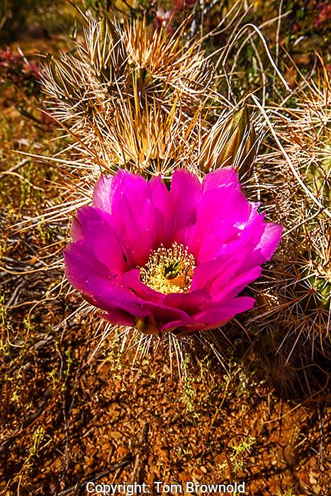 Strawberry Hedgehog cactus in the Tonto Basin, Arizona