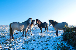 © Licensed to London News Pictures. 10/11/2019. Builth Wells, Powys, Wales, UK. Welsh mountain ponies graze on the bitterly cold landscape of the Mynydd Epynt range near Builth Wells in Powys, Wales, UK. after snow fell on high land in Powys last night. Photo credit: Graham M. Lawrence/LNP