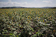 Idomeni, Greece - A fild of sunflowers near Idomeni village on the 24th of August 2015, where thousands of refugees (mostly coming from Syria) and migrants try every day to cross the Greek border to Macedonia (Fyrom), hoping to continue their journey to Central/North Europe and eventualy reach countries like Germany, Great Britain and Sweden.