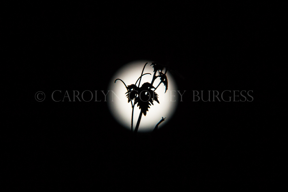 grape leaf silhouette in front of the supermoon.