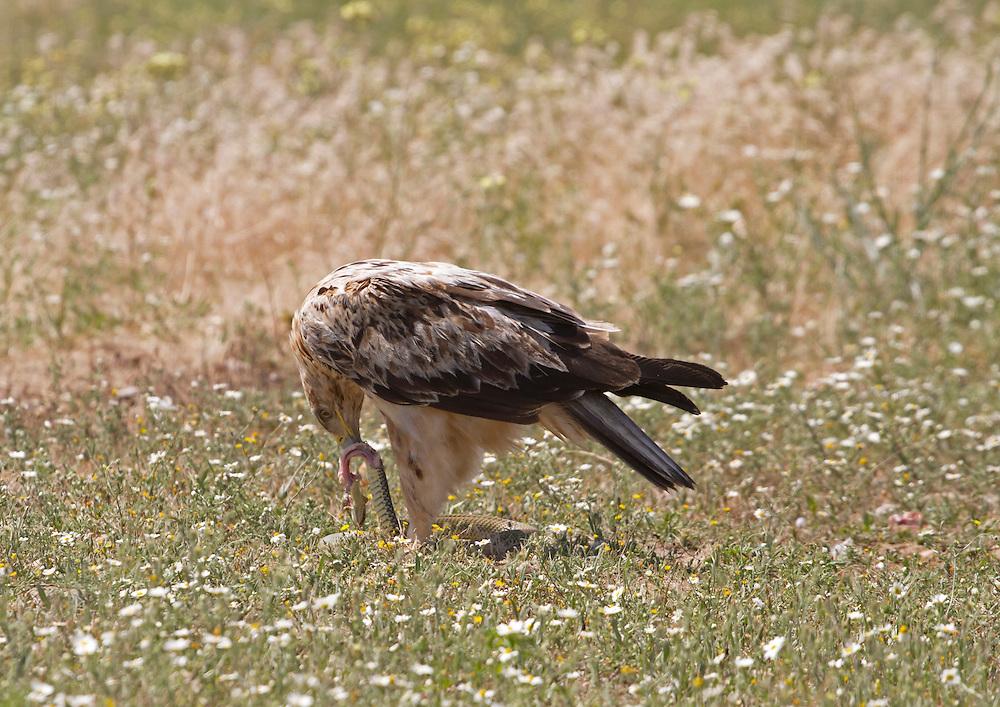 Spanish Imperial Eagle, Aquila adalberti, born spring 2011 so 3rd calendar year, feeding on Montpellier Snake, Malponon monspessulanus, May, Castille and Leon, Spain