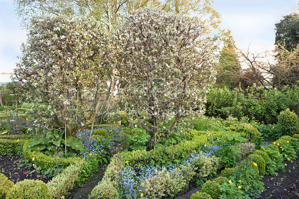 Espalier 'Goblet' trained apple trees in blossom, box hedge, forget-me-nots, columbine, foxgloves and Welsh poppies in the Potager Garden at Barnsley House