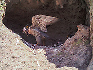 Adult female peregrine falcon at eyrie cave with prey, adult male on the right, downy nestling between. It is rare for both adults to be in the eyrie at the same time. © 2016 David A. Ponton [photo by motion-activated camera, low-resolution limits repro. size]