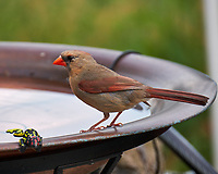 Female Northern Cardinal. Image taken with a Fuji X-T2 camera and 100-400 mm OIS telephoto zoom lens