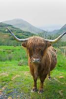 Highland Cattle, Glen Nevis Scotland