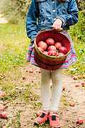 Little girl with a bucket full of apples from picking at Kelly's Orchard, Buhl, Idaho. MR