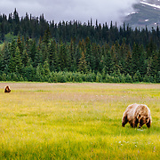 A mating pair of brown bears feed on sedge grasses in Lake Clark National Park Alaska at sunset.