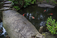 Carp are seen in Japan (as well as in the rest of Asia) as a symbol of fortune.  These ponds used as an element of a landscape pond garden. Classic koi ponds have nishikigoi Japanese ornamental carps.  It is said that the design of a koi pond has a great effect on the well-being of the carp.