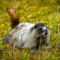 Animals - Marmots