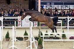 034, Quite Impressive van't Huka<br /> Hengstenkeuring BWP - Lier 2019<br /> © Hippo Foto - Dirk Caremans<br /> 18/01/2019