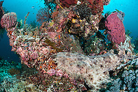 A Tassled Wobbegong perched upon a healthy coral bommie<br /> <br /> Shot in Indonesia