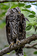 Adult Barred Owl (Strix varia) sleeping during the day