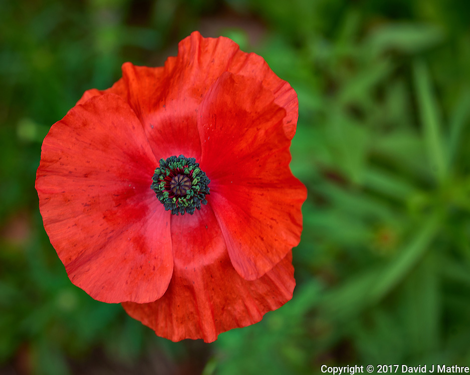 Red poppy flower. Backyard spring nature in New Jersey. Image taken with a Nikon D800 camera and 60 mm f/2.8 macro lens (ISO 100, 60 mm, f/8, 1/60 sec).