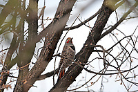 A male Northern Flicker perched on an oak tree branch on a March afternoon.