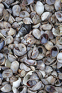 Field of shells on Fairfield Beach, Connecticut