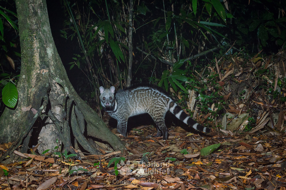 The large Indian civet (Viverra zibetha) is a civet native to South and Southeast Asia. The global population is considered decreasing mainly because of trapping-driven declines in heavily hunted and fragmented areas, notably in China.