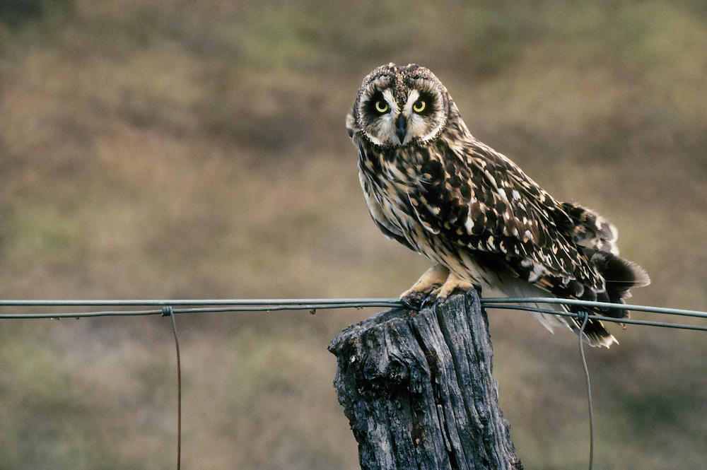 Pueo or Hawaiian Short-eared Owl (Asio flammeus sandvicensis); Saddle Road, South Kohala, Island of Hawaii.