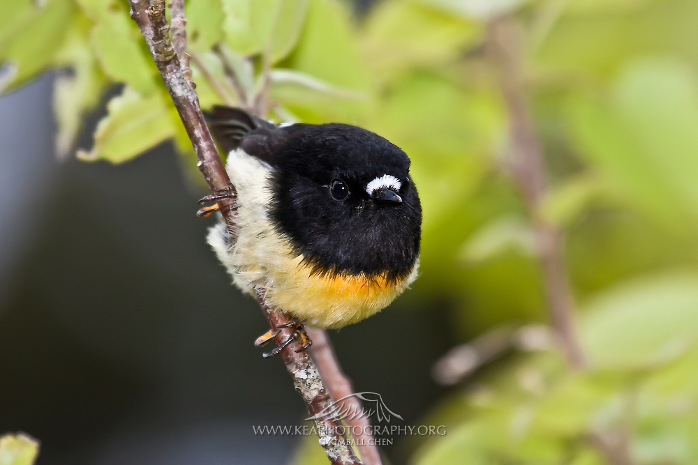South Island Tomtit, Fiordland, New Zealand