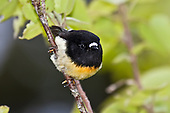 South Island Tomtit Pictures - Photos