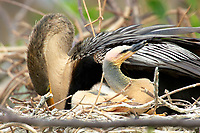 Anhinga chick in nest with female Wakodahatchee Wetlands Delray Beach Florida USA