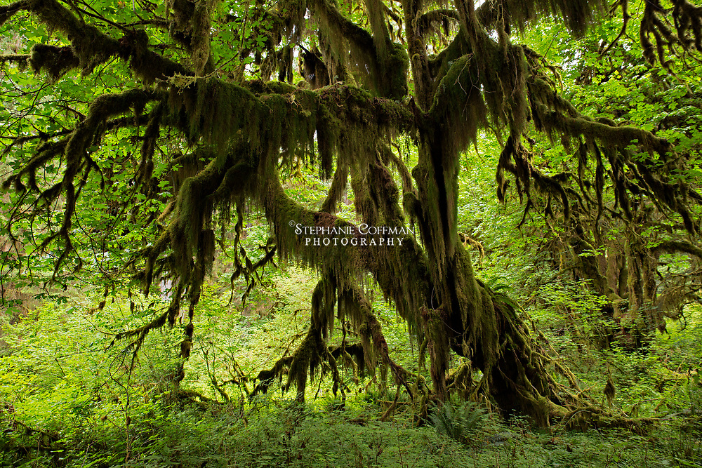 Hiking along the trail to Hall of Mosses in Hoh Rain Forest at Olympic National Park, Washington, USA