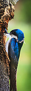Tree Swallow Bookmark