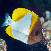 Pyramid Butterflyfish inhabit reefs. Picture taken Palau.