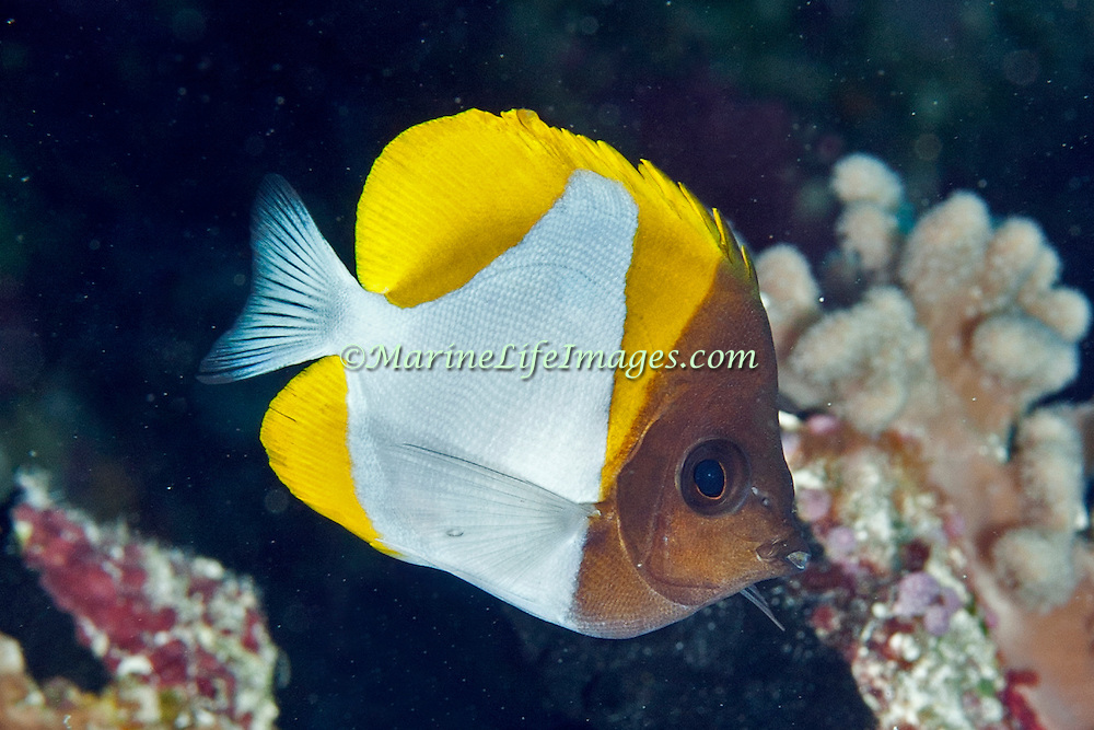 Pyramid Butterflyfish inhabit reefs. Picture taken Palau.
