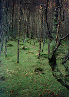Irish woodland