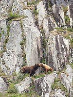 Alaska brown bears, Ursus arctos horribilis, on a cliffside in Geographic Harbor, Katmai National Park, Alaska.