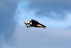 Horned Puffin (Fratercula corniculata) flying with needle fish near Duck Island, Tuxedni Wilderness, Alaska Maritime National Wildlife Refuge, Alaska, United States of America