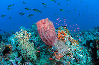 Colorful Reef Outcropping with Soft Corals, Sponges, and Unicornfishes..Shot in Indonesia..