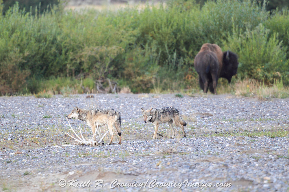 Two wolves walk across a dry river bed with a bison in the background.