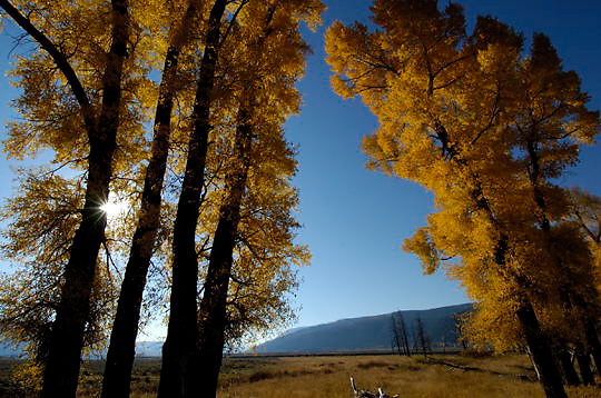 Cottonwood trees (Populus deltoids occidentalis) In the Lamar Valley of Yellowstone National Park in their fall colors.