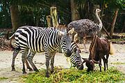 Zebra, water buffalo and ostrich at the Singapore Zoo, Singapore, Republic of Singapore