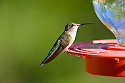 A hummingbird sits motionless at a red feeder.