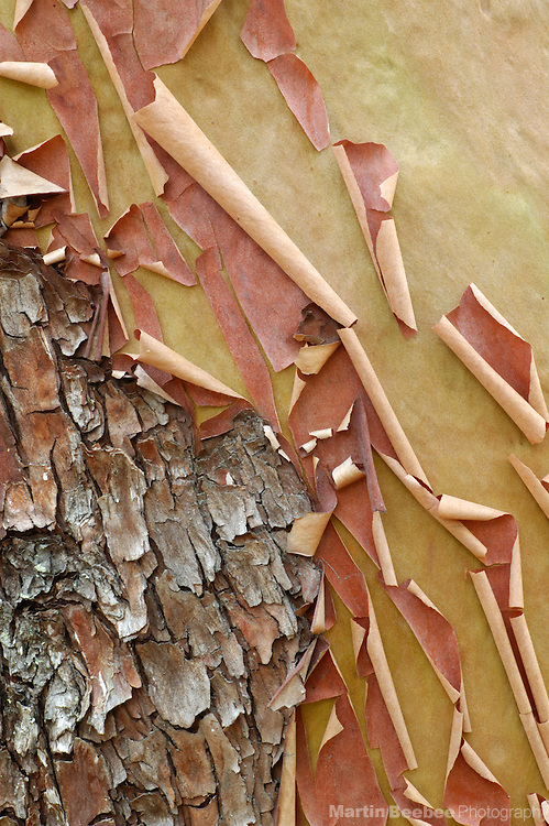 Bark peels off of a madrone (Arbutus menziesii), Oregon