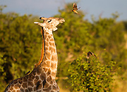 A pair of yellow-billed oxpeckers fly in to dine on parasites such as ticks that live on the giraffe.